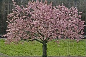 Japanese-Cherry-Tree-968542