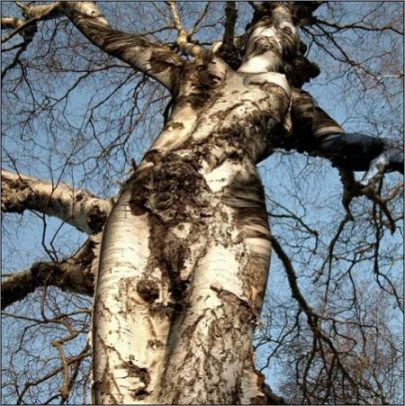 birch-wood-tree