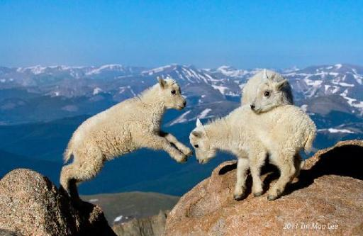 mountain-goat-kids-jumping