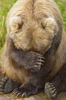 A-female-Brown-bear-puts-her-paw-over-her-in-Katma_art