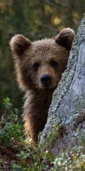 björn-rovdjursparken-grönklitt